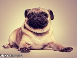 Poor Pugs! Dog Breeds Veterinarians Want You to Avoid