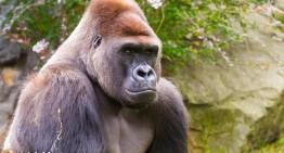 Outrage Continues Over Death of Cincinnati Zoo Gorilla