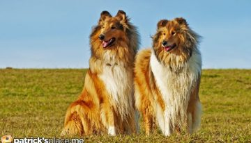 Everyone Can't Have Grown Up with a Rough Collie!