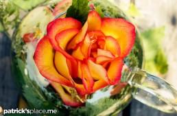 The Forty-Niner Rose