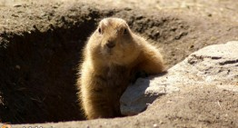 Groundhog Day: Why We Turn to a Rodent for the 'Forecast'