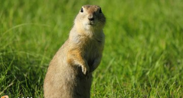 When a Gopher Isn't Necessarily a Gopher
